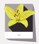 Lily vector graphics