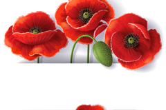 Beautiful poppy flower background vector