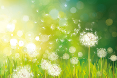Dandelion dream flowers vector